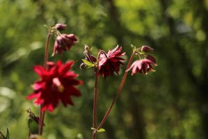 red aquilegia by nilsxys