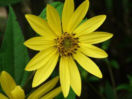 ,,,Helianthus,,'Lemon Queen' by duggiehoo