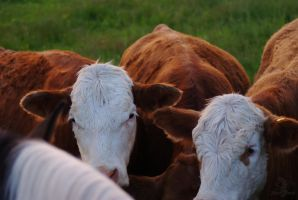 curious cows by Shearkin