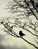 Crow in the morning by AntaresAquarii