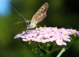 Common Blue Two... by EricReynolds