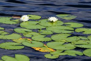 Lilypads and Water Lillies by SimplyForgotten94