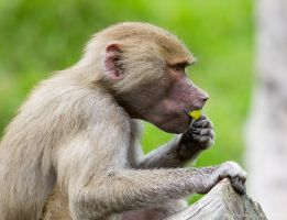 Baboon by ARC-Photographic