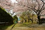 Ex-incline and cherry blossoms by TFuruhashii