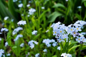 Forget-Me-Not 1 by JessicaTanton