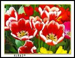 Red Tulips by KLR620