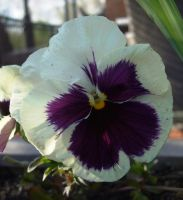PURPLE FACED PAGAN PANSY by AudraMBlackburnsArt