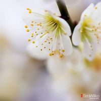 Ume by Tim-Wilko