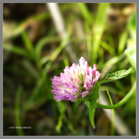Clover flower by Mogrianne