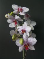 orchid 2 by paolaquasar