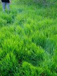 green grass of home by tvfisk