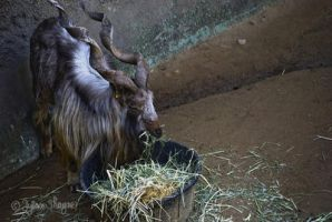 Goat by dylan-S