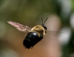 Carpenter Bee 20D0025720 by Cristian-M
