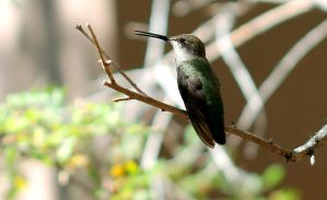 Morning Hummingbird by Monkeystyle3000