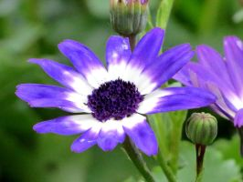 Senetti Blue Bicolor Pericallis by Kitteh-Pawz