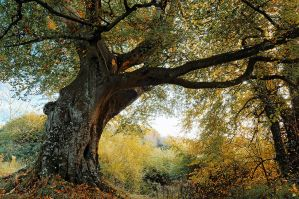 Belvoir Tree, October 2009 III by Gerard1972