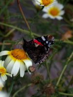 Red Admiral On Duty by linderel