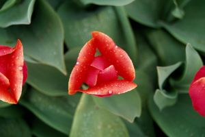 Top View of a Tulip by ash2000