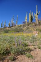 Saguaros with Poppies by PatGoltz