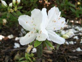 White Azaleas by groundhog22