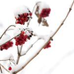 red winter berries by Cassini246