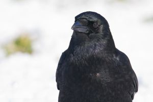 Crow in Snow by SnowPoring
