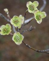 Baby Dogwood Blooms by druideye