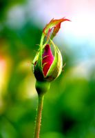 November Rosebud by Tailgun2009