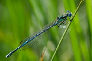 Common Blue Damselfly (full focus) by FreezingGlare