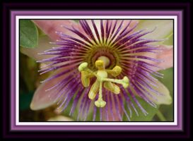 Passion Flower by ForgivenDreamSoul