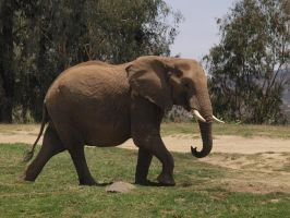 African elephant walking by photographyflower