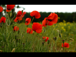 Poppies by xhapps