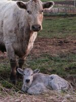 Baby Cow by iluvobiwan91