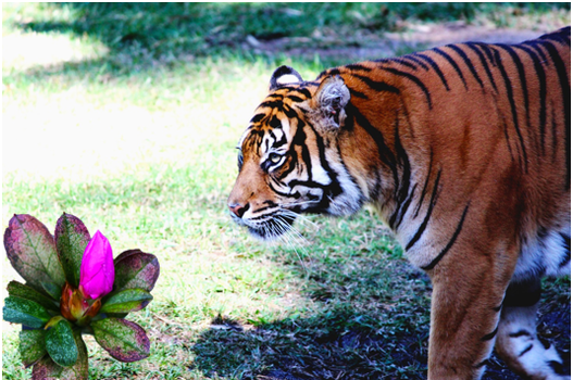 The Tiger and the Pink flower by photolover1312