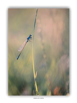 Agrion by YannickDellapina