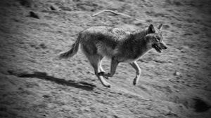 Wolf running 2 by Oberon7up