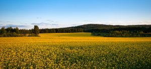 Yellow Fields by JoniNiemela