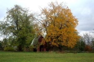 Barn and pretty trees by angela-swift