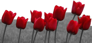 Red Tulips by Jerm123321