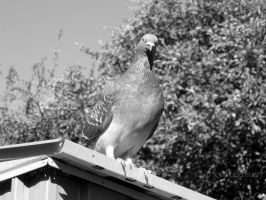 Inquisitive Pigeon by southoffebruary