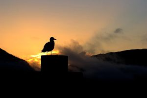 Seagull Sunset Silhouette by Muskeg