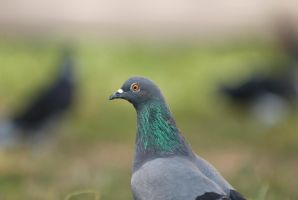 Pigeon March by SantiBilly