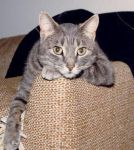 Grey Cat by bluewave-stock
