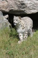 young snow leopard by bydandphotography