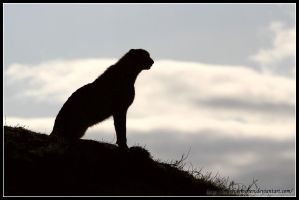 Cheetah Silhouette I by AF--Photography
