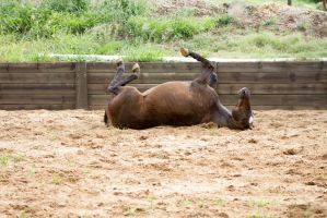 KM old TB laying rolling on back side view by Chunga-Stock