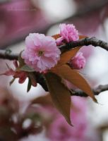 Cherry Blossoms II by tjuh