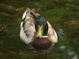Portrait of a Mallard by TheSilverLotus
