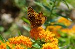 Orange-butterfly-on-Butterfly-plant_3.jpg by Grace-love-kindness