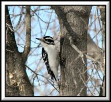 Hairy Woodpecker by dove-51